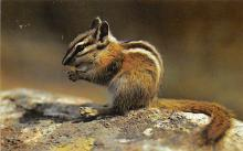 top009539 - Squirrel/Chipmunks/Woodchucks