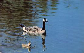 top009633 - Ducks/Geese