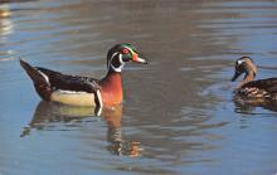 top009671 - Ducks/Geese