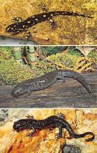 top009789 - Reptiles/Alligator
