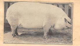 top009873 - Pigs