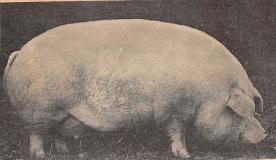 top009901 - Pigs