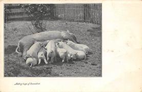 top009973 - Pigs