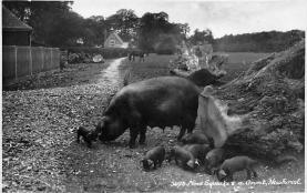 top010009 - Pigs