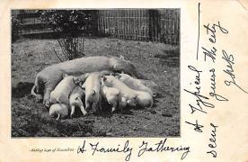 top010017 - Pigs