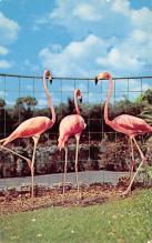 top010031 - Flamingos
