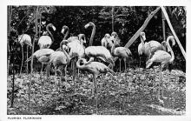 top010085 - Flamingos