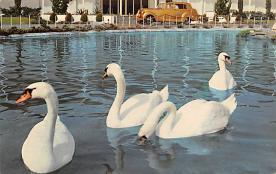 top010155 - Swans