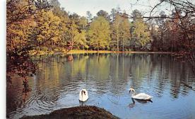 top010161 - Swans