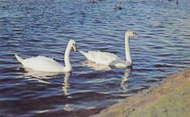 top010165 - Swans