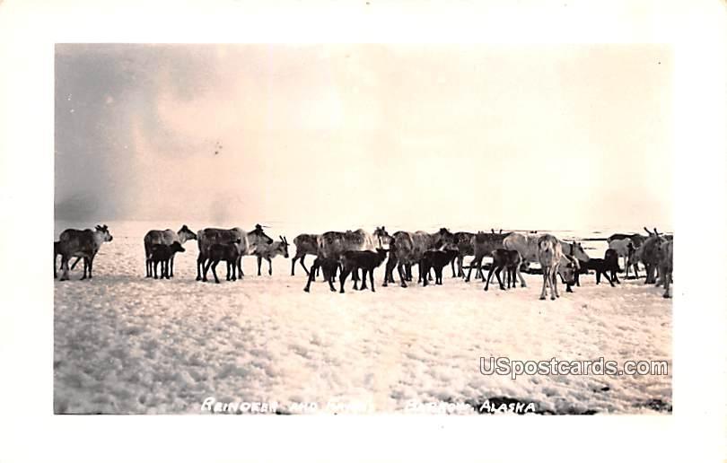Reindeer and Fawns - Barrow, Alaska AK Postcard