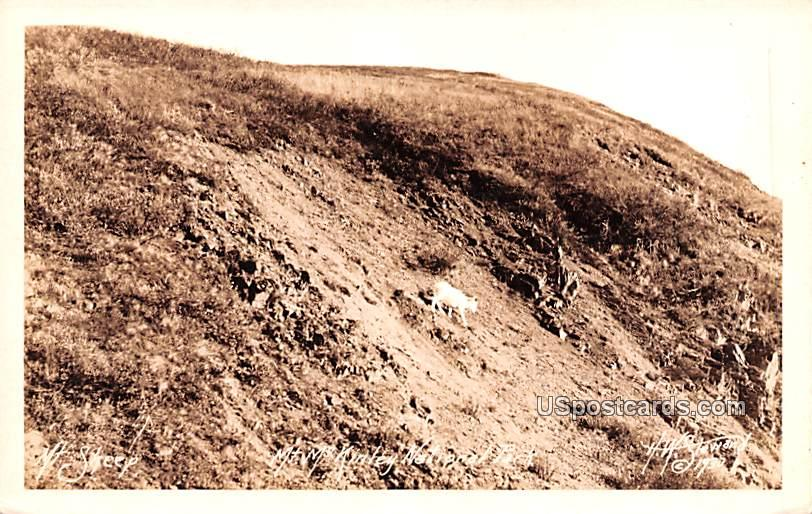 Mountain Sheep - Mount McKinley National Park, Alaska AK Postcard