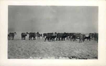 Reinderr and Fawns - Barrow, Alaska AK Postcard