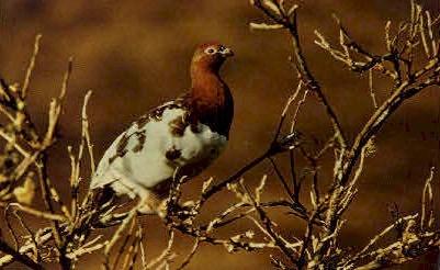 Willow Ptarmigan- Alaskan Bird - Misc Postcard