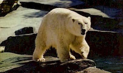An Alaskan Polar Bear - Misc Postcard