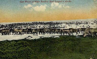 Wales Reindeer herd - Misc, Alaska AK Postcard