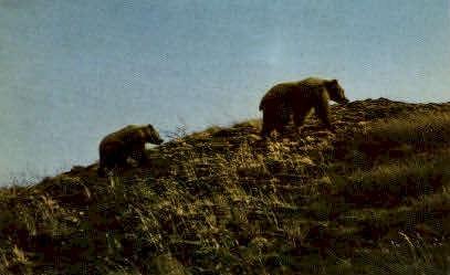 Toklat Grizzly - Misc, Alaska AK Postcard