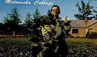 Matanuska Cabbage - Matanuska Valley, Alaska AK Postcard