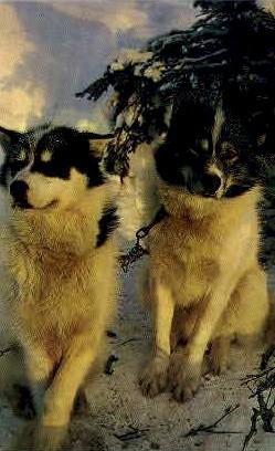 Alaskan Husky Sled Dogs - Misc Postcard