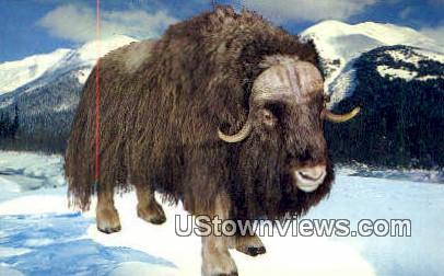 Alaskan Musk Ox - Misc Postcard