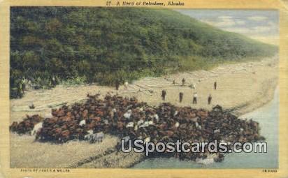 Herd of Reindeer - Misc, Alaska AK Postcard