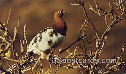Alaskan State Bird, Willow Ptarmigan - Misc Postcard