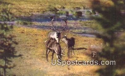 Caribou, Fall Migration - Misc, Alaska AK Postcard