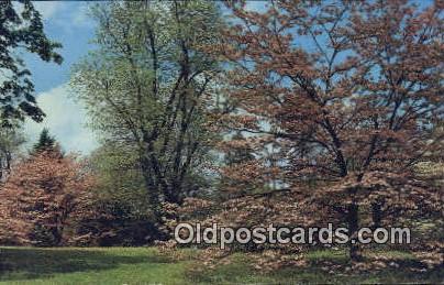 Dogwood Blossoms - Misc, Alabama AL Postcard