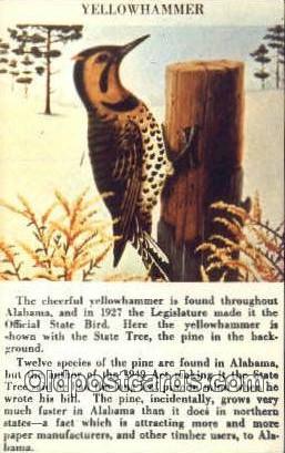 Yellowhammer - Misc, Alabama AL Postcard