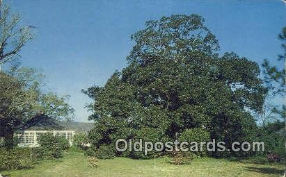 Magnolia Tree - Mobile, Alabama AL Postcard