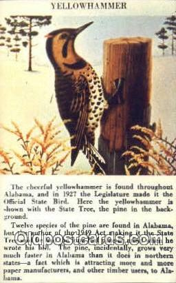 Yellowhammer, State Bird - Alabama AL Postcard