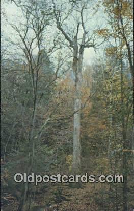 Yellow Poplar Tree - Hepsidam, Alabama AL Postcard