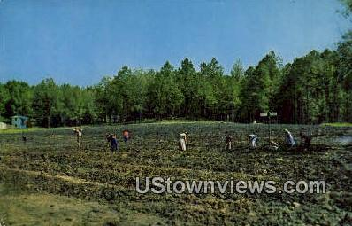 Crater of Diamonds - Murfreesboro, Arkansas AR Postcard