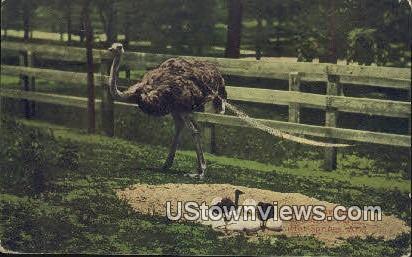Baby Ostriches, Ostrich Farm - Hot Springs, Arkansas AR Postcard