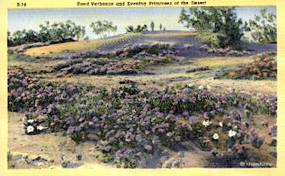 Sand Verbenas and Evening Primroses - Misc, Arizona AZ Postcard