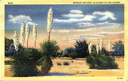 Spanish Bayonet - Misc, Arizona AZ Postcard