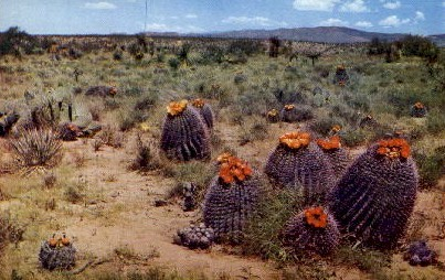 Barrel Cactus - Misc, Arizona AZ Postcard