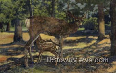 Deer & Fawn - Grand Canyon National Park, Arizona AZ Postcard