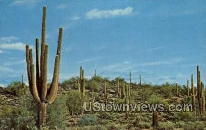 Giant Saguaros - Misc, Arizona AZ Postcard