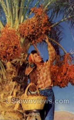 Picking Dates - Misc, Arizona AZ Postcard