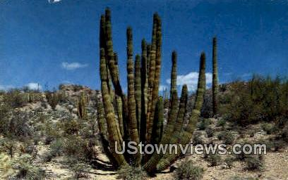 Organ Pipe Cactus - Ajo, Arizona AZ Postcard