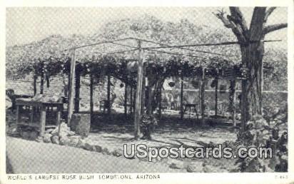 World's Largest Rose Bush - Tombstone, Arizona AZ Postcard