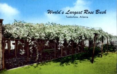World's Largest Rose Tree - Tombstone, Arizona AZ Postcard
