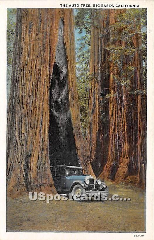 Auto Tree - Big Basin, California CA Postcard