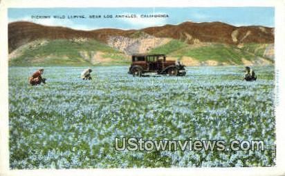 Wild Lupine - Los Angeles, California CA Postcard