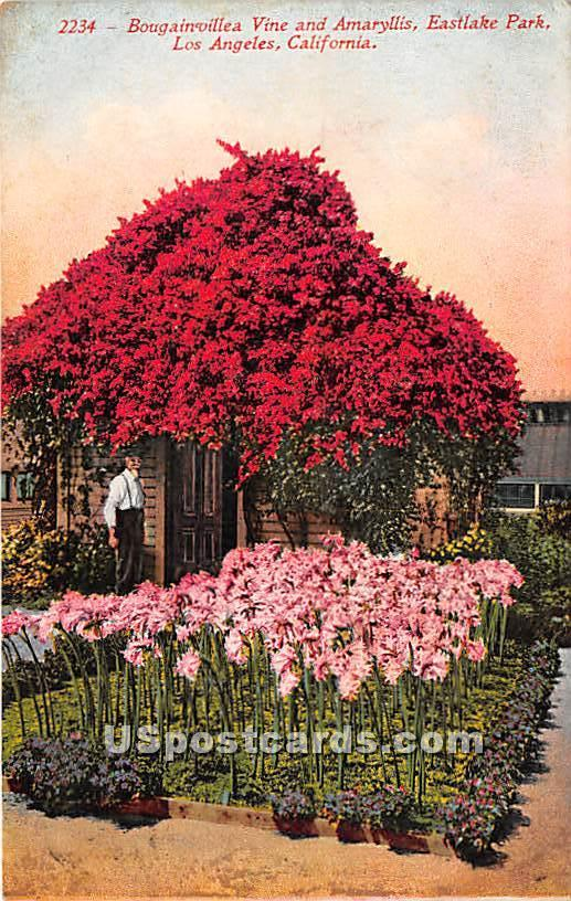 Bougainvillea Vine, Eastlake Park - Los Angeles, California CA Postcard