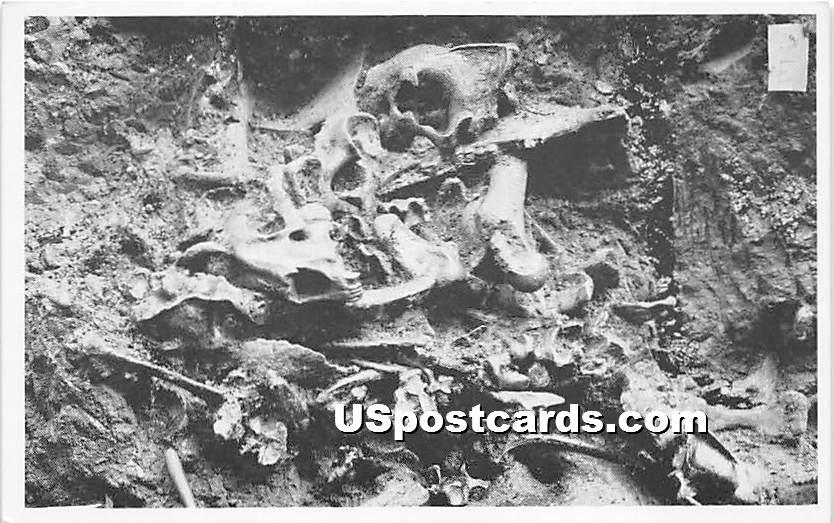 Fossil Bones, Rancho La Brea Pit Exhibit, Hancock Park - Los Angeles, California CA Postcard
