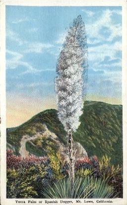 Yucca Palm or Spanish Dagger - Mt. Lowe, California CA Postcard