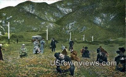 Picking Poppies - Mt. Lowe, California CA Postcard