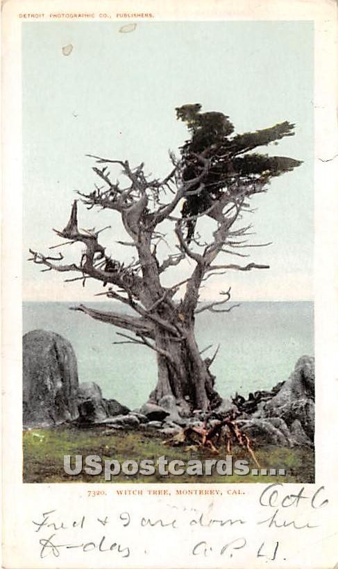 Witch Tree - Monterey, California CA Postcard